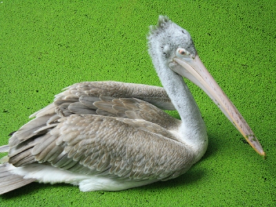 Spotted Billed Pelican - Philippine Pelican