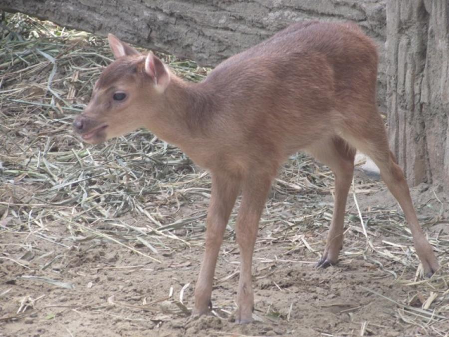 Baby Philippine Deer